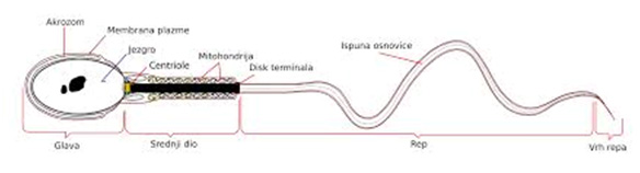 spermiogram2
